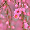農事センター2021 2月-1 枝垂れ梅①