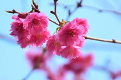 白野江2021 2月 桜 エレガンスミユキ