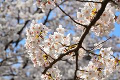 小倉城2021 3月 下屋敷庭園 桜②