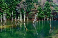 一ノ俣桜公園2020 1月-2 蒼霧鯉池④