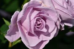 グリーンパーク2020 5月薔薇-2 しのぶれど