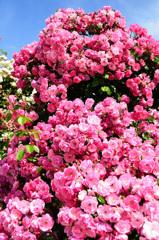 グリーンパーク2020 5月薔薇-1 アンジェラ