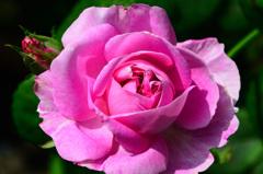 ベランダ2020 5月 薔薇②