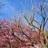 白野江2021 2月-3 白梅と河津桜