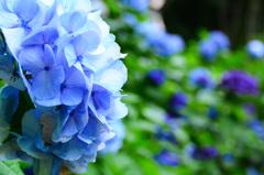 もととりアジサイ園2020 紫陽花②