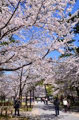 小倉城内2020 4月 桜①