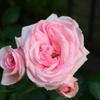 ベランダ2018 薔薇4