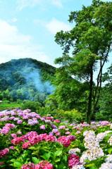 もととりアジサイ園2020 紫陽花①
