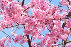 白野江2021 3月 陽光桜②