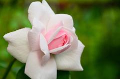 ベランダ2020 5月 薔薇⑥