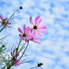 白野江2021 6月 コスモスに青空と白い雲