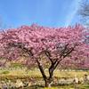 白野江2021 2月-4 河津桜①