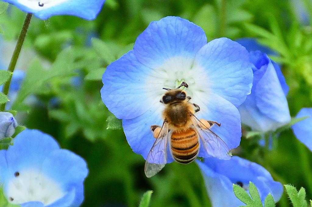 グリーンパーク2021 5月-2 ネモフィラと蜜蜂③