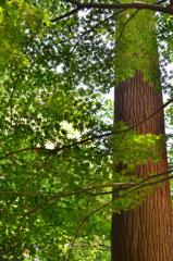 環境芸術の森2020 6月-2 青もみじ&北山杉