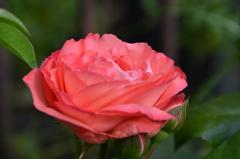 ベランダ2020 5月 薔薇⑦