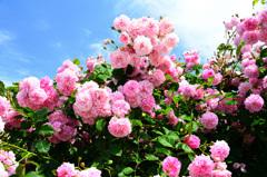 グリーンパーク2020 5月薔薇-1 ラベンダーラッシー