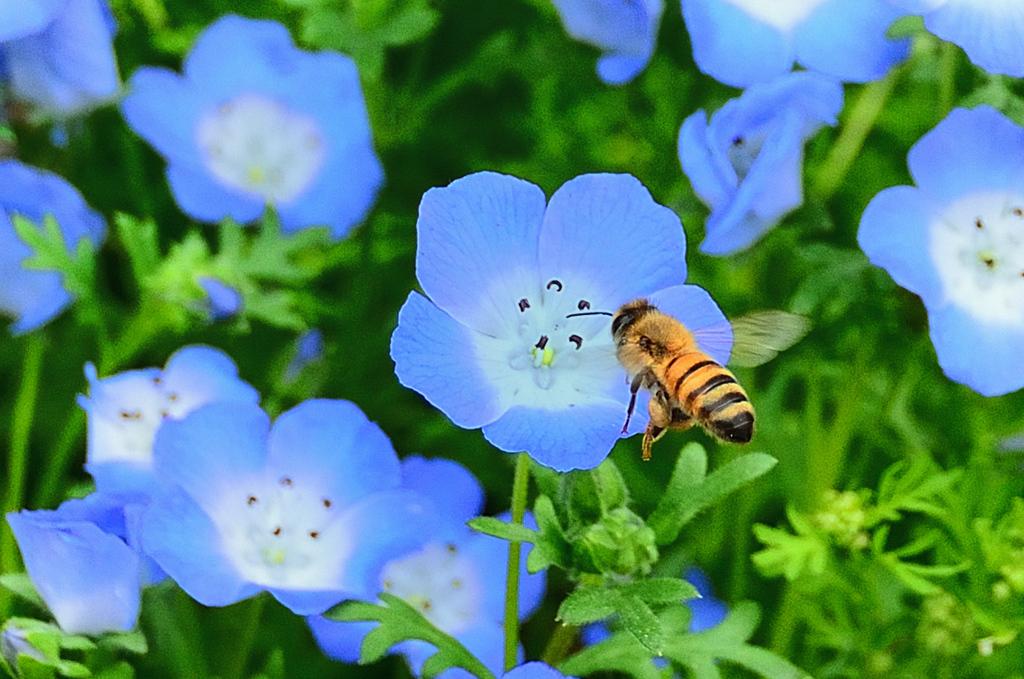 グリーンパーク2021 5月-2 ネモフィラと蜜蜂②