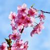 白野江2021 2月-4 河津桜④