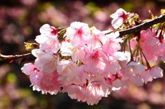白野江2021 3月 大寒桜