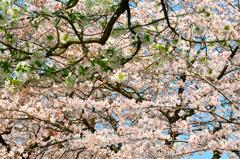 足立公園2020 4月-1 ソメイヨシノ&大島桜