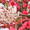 足立山妙見宮2021 春 菊桃と桜