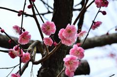 白野江2021 2月-2 紅梅