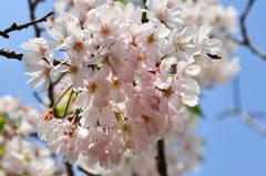 白野江2021 4月-2 桜 思川