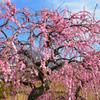 農事センター2021 2月-3 枝垂れ紅梅①