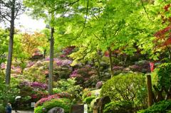 大興善寺2021 4月-3 青もみじ&ツツジ
