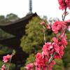 瑠璃光寺2021 3月-1 ハナモモと五重塔