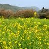 糸島ゆらりんこ橋2021 春 菜の花畑