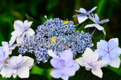 はまゆう公園2020 6月 紫陽花①