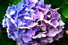 もととりアジサイ園2020 紫陽花③