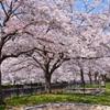 徳力2020 公園 桜 満開
