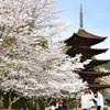 瑠璃光寺2021 3月-1 桜と五重塔①