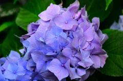 はまゆう公園2020 6月 紫陽花③