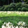 正光寺2021 9月-2 シロヒガンバナ畑