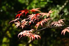 白野江2020 10月-2 紅葉①