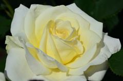 グリーンパーク2020 5月薔薇-2 エリナ