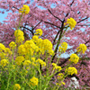 白野江2021 2月 菜の花
