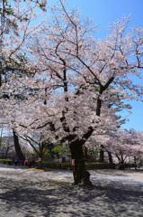 小倉城内2020 4月 桜②