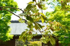 白野江2021 4月-4 御衣黄と正門
