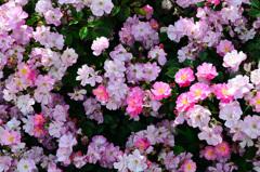 グリーンパーク2020 5月薔薇-1 ラベンダードリーム