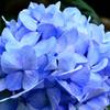 もととりアジサイ園2020 6月 紫陽花③