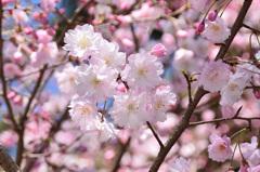 小倉城内2020 4月 桜 舞姫