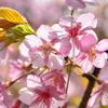 白野江2021 2月 桜 河津桜①