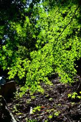 環境芸術の森2020 6月-2 光浴青楓
