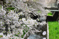 徳力2018 桜の小川6