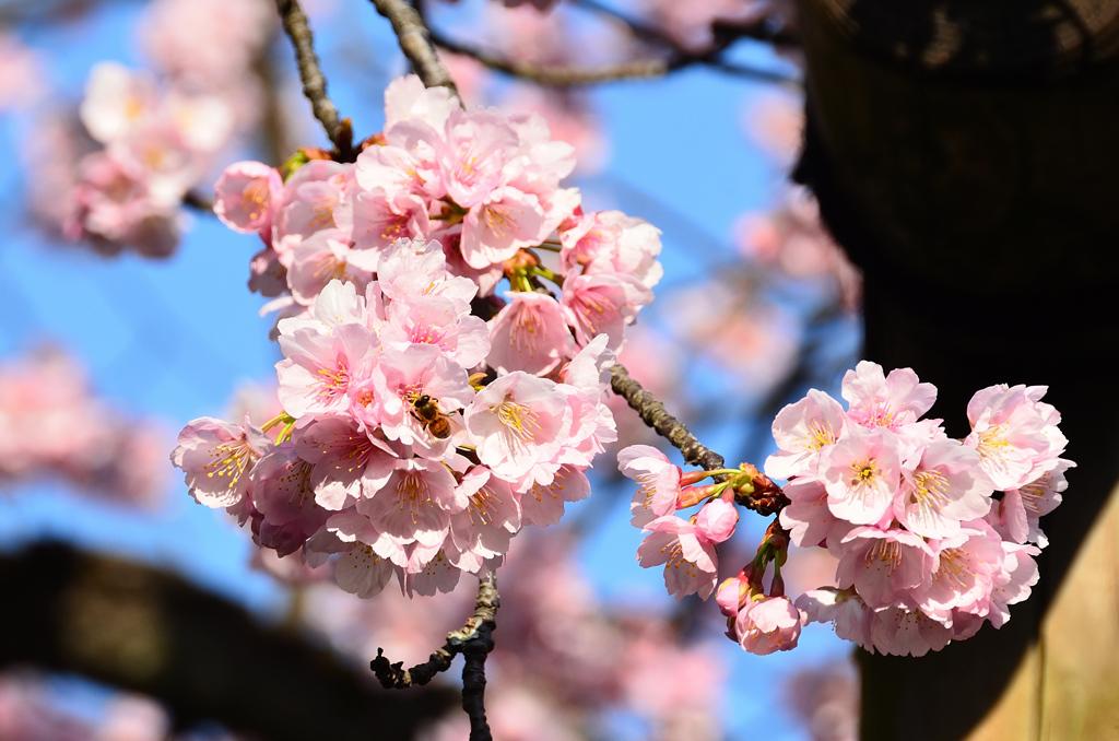 宮地嶽神社2021 2月 桜&ミツバチ