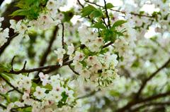 足立公園2020 3月 大島桜
